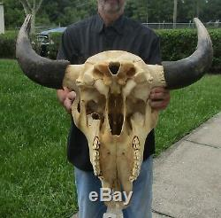 American Bison/Buffalo Skull with a 25-1/2 inch wide horn spread # 41154