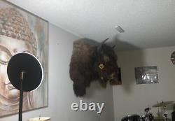 American Bison Head Mount (Male) Beautiful Creature (Decor)