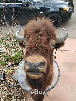 Bison/biuffalo head taxidermy