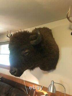 Buffalo Herd-Culled Shoulder Mount taxidermy bison hide Horns Professional