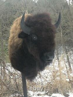 Buffalo Shoulder Mount/taxidermy/bison/hide/real 1