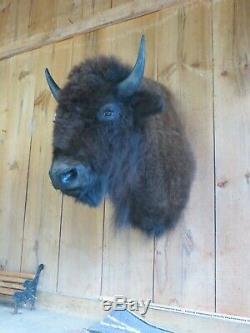 Buffalo Shoulder Mount/taxidermy/bison/hide/real 11