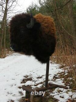 Buffalo Shoulder Mount/taxidermy/bison/hide/real 12