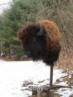 Buffalo Shoulder Mount/taxidermy/bison/hide/real 17