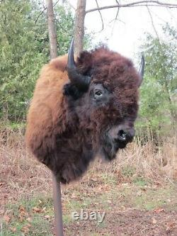 Buffalo Shoulder Mount/taxidermy/bison/hide/real 2