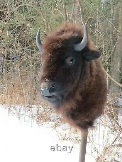 Buffalo Shoulder Mount/taxidermy/bison/hide/real 2