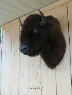 Buffalo Shoulder Mount/taxidermy/bison/hide/real 3