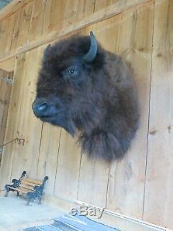 Buffalo Shoulder Mount/taxidermy/bison/hide/real 33