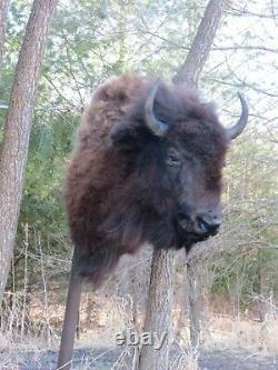 Buffalo Shoulder Mount/taxidermy/bison/hide/real A1