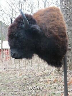 Buffalo Shoulder Mount/taxidermy/bison/hide/real B-1