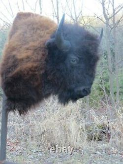 Buffalo Shoulder Mount/taxidermy/bison/hide/real B2