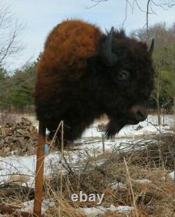Buffalo Shoulder Mount/taxidermy/bison/hide/real S2
