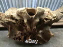 Buffalo Skull Fossil Big Bison Bull Head Solid Badlands Art