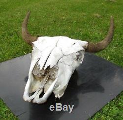 Buffalo Skull Horns Bison Taxidermy Man Cave Western Americana 20x25