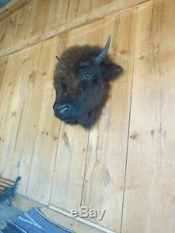 Buffalo head mount/taxidermy/bison/real A