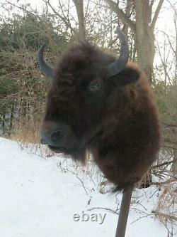 Buffalo shoulder mount/taxidermy/bison/real 1