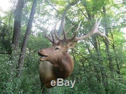 Elk Taxidermy Trophy Mount antler buffalo deer bison cabin decor skull hunting