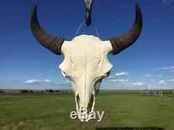 Genuine Buffalo Skull Bull Horns Bison Head Bone Teeth Badlands Art