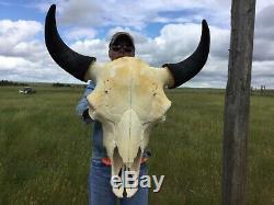Herd Bull Buffalo Skull Horns Bison Head Bone Teeth Huge Head 27 Wide