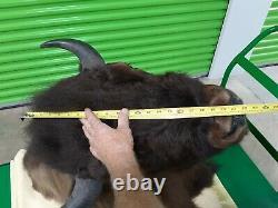 Huge Trophy Buffalo Shoulder Mount Bison Head Wild Animal Quality Taxidermy Rare