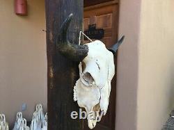 Large 24 1/2 BULL BUFFALO BISON SKULL HORNS cow head AMERICAN TOTANKA taxidermy