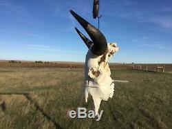 Old School Buffalo Skull Horns Bison Bone Teeth Huge Head 23 + Bull