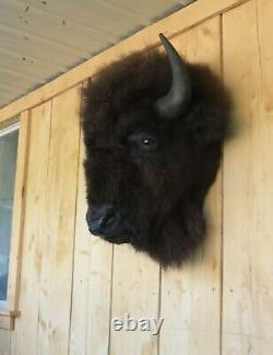 Real Buffalo / Bison Head Taxidermy Mount New