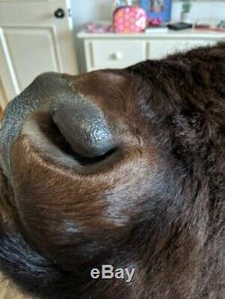 Stunning / Massive American Bison Shoulder Mount
