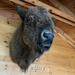 Trophy Buffalo Shoulder Mount, Bison Head, Antler Taxidermy