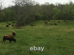 Trophy North American Bison (Buffalo) Hunt Ozark Mountains, Arkansas