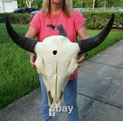 XL American Bison/Buffalo Skull with a 25 inch wide horn spread # 43542