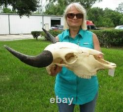 XL American Bison/Buffalo Skull with a 25 inch wide horn spread # 43599