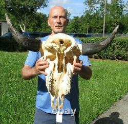XL American Bison/Buffalo Skull with a 30 inch wide horn spread # 43669